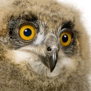 baby eagle. face